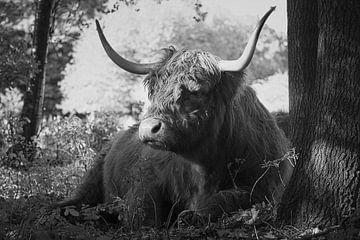 Hooglander koe ligt tegen een boom in zwart-wit