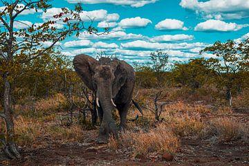 Olifant in de bush van Senten-Images Carlo Senten