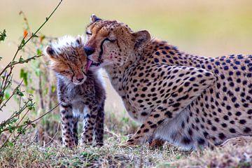 Cheetah likt welp van Peter Michel