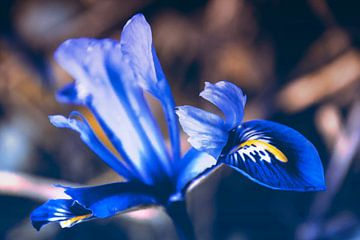 Blue spring Iris flower sur Nannie van der Wal