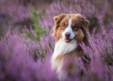 Australischer Schäferhund von Anke de Haan