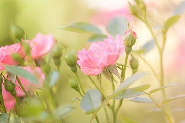 Gartenrosen von Dagmar Marina