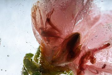 Azalee in kristallklarem Eis 1
