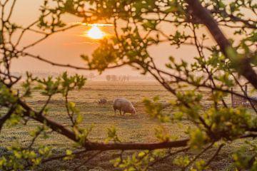 Sonnenaufgang im Polder mit Schafen von Rossum-Fotografie