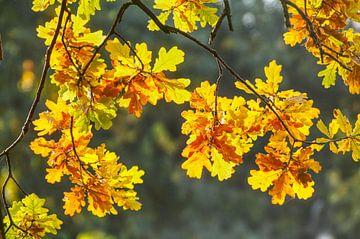 feuilles de chêne, feuilles d'automne colorées