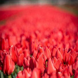 rode tulpen bollenveld in lisse. bloemen in het veld. close up van Erik van 't Hof