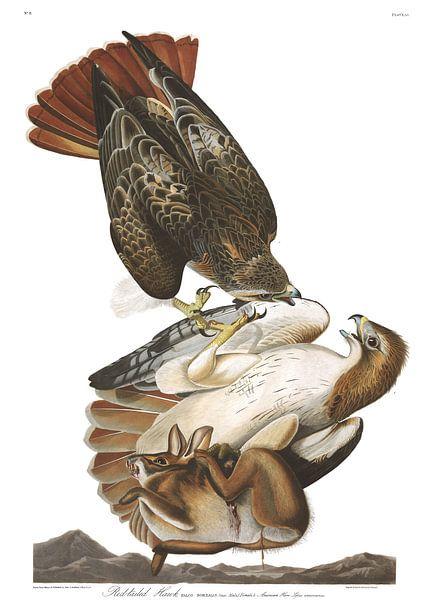 Roodstaartbuizerd van Birds of America