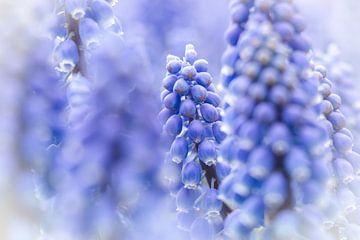 Paarse bloem - Verschillende blauwe druifjes scherp en onscherp in beeld