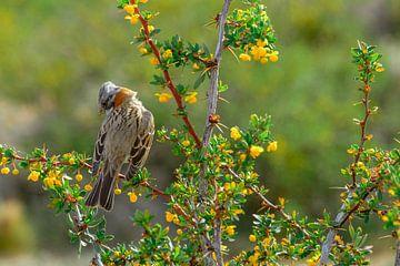 Zangvogel in Patagonië, Argentinië van Geert Smet