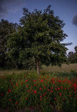 Mohn nach Baum von peterheinspictures