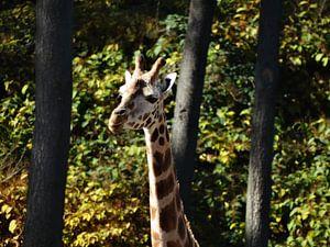 Lieve Giraffe van Merel de Ling