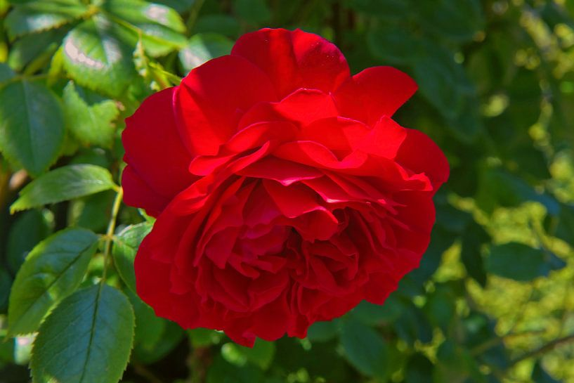 Rote Rose in einem Schlossgarten von Rijk van de Kaa