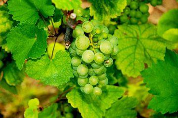 Druiven van Agnes Meijer