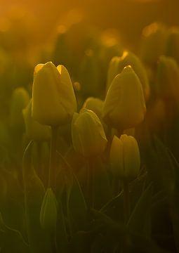 Gelbe Tulpen in der Morgensonne von Muriël Mulder