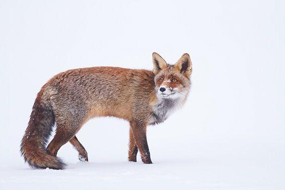 Rode vos op het ijs