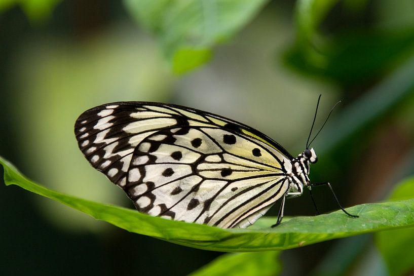 Papillon sur Miranda van Hulst