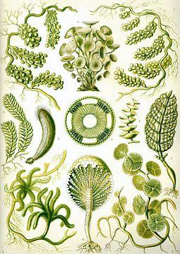 Siphoneae - Ernst Haeckel van Het Archief