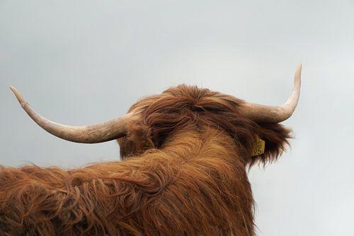 Schotse Hooglander van Karin in't Hout