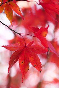 Rood esdoornblad van