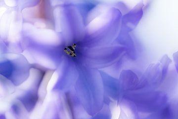 Paarse hyacint. van Erik de Rijk
