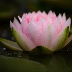 Roze waterlelie, Nymphaea van Eric Wander