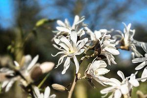 Magnolia bloemen van