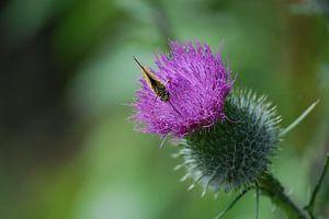 Vlinder op distel van