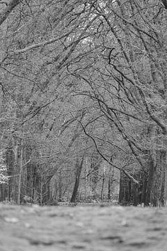 Boomtakken over een bospad op de Hoge Veluwe  zwart wit