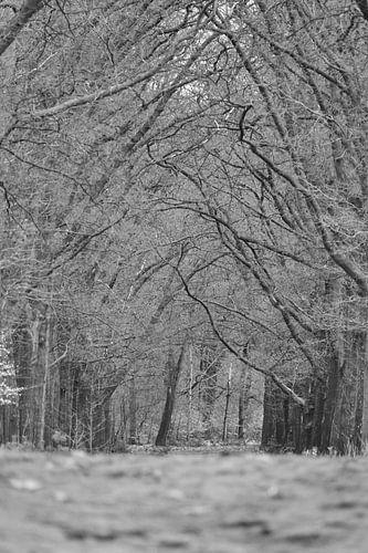 Boomtakken over een bospad op de Hoge Veluwe  zwart wit  van