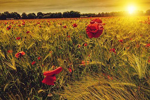 Klaprozen in korenveld met ondergaande zon