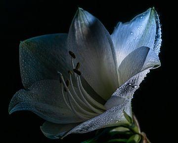 Witte Amaryllis van Mischa Corsius