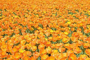 OrangeTulips sur Dalex Photography