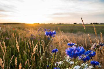 Blauwe korenbloemen bij romantische zomeravond van Fotografiecor .nl