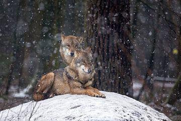 Paar europäische Wölfe von gea strucks