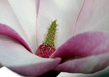 Magnolie von Roswitha Lorz