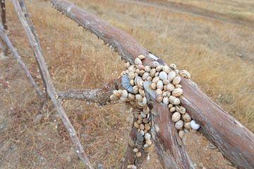 Schelpen op een hek van Dustin Musch