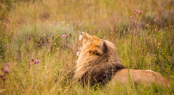 Gapende leeuw van Marije Jellema