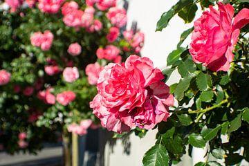 Rose Rosarium Uetersen von GH Foto & Artdesign