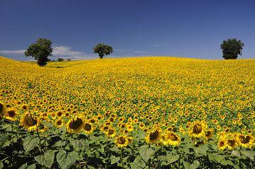 Zonnebloemenveld  sur Annelies van der Vliet