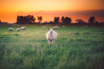 Schafe im Licht von Thomas Bartelds