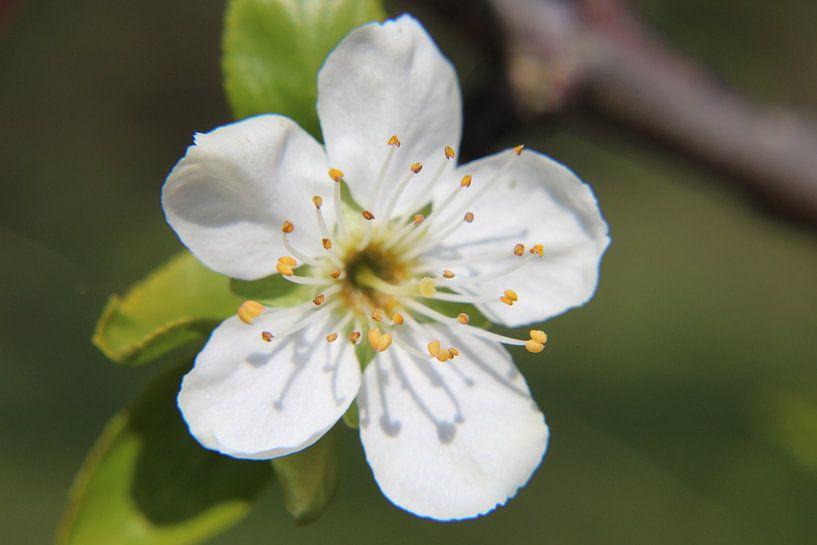Close-up pruimenbloesem van Anja Ruiter