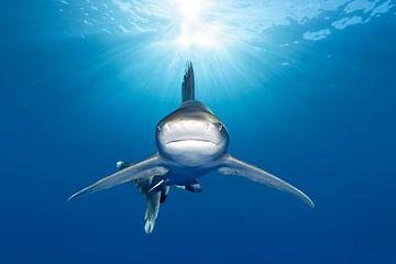 Le requin océanique à pointe blanche tout droit sorti du soleil sur Norbert Probst
