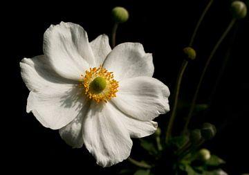 Weiße Anemone von Leo Langen