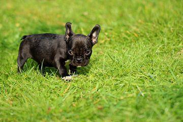 Französische Bulldogge 8 van Heike Hultsch