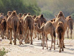 Kudde kamelen in Wadi Darbat, Oman van Ruth de Ruwe