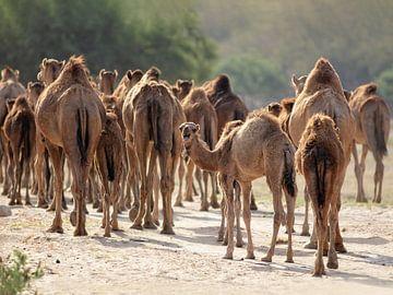 Kamelherde in Wadi Darbat, Oman von Ruth de Ruwe
