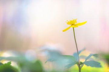 Gelbe Buschwindröschen von Carola Schellekens