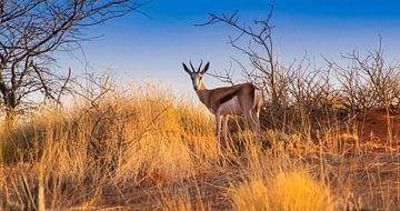 Springbok in den frühen Morgenstunden in der Kalahari-Wüste, Namibia von Rietje Bulthuis