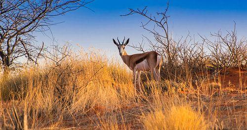 Springbok in de vroege ochtend in de Kalahari woestijn, Namibië