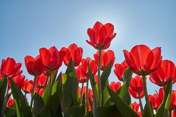 Rote Tulpen in der Hintergrundbeleuchtung von Ad Jekel